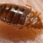 Do I Really Need to Call a Pest Control Company If I Get Bed Bugs?